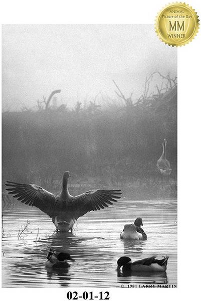 http://www.ellemmphotography.com/Images/Misc/APOTD_Geese.jpg