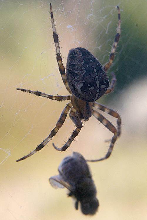 http://www.ellemmphotography.com/Images/Nature/Bugs/Spider_0359_A_web.jpg