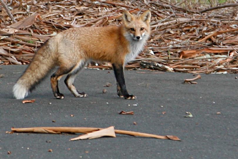 http://www.ellemmphotography.com/Images/Nature/Fauna/Fox_3561_B_web.jpg