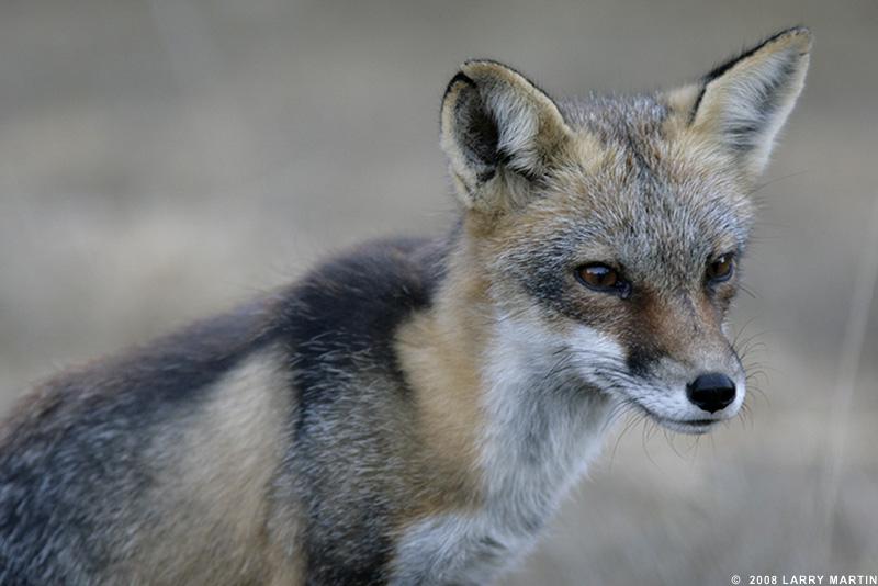 http://www.ellemmphotography.com/Images/Nature/Fauna/Fox_3579_A_web.jpg