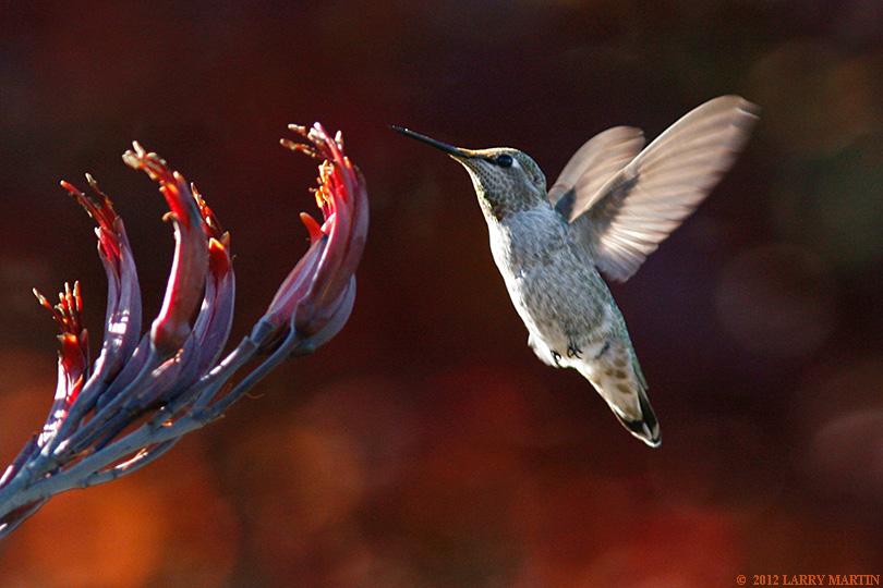 http://www.ellemmphotography.com/Images/Nature/flyers/Hummer_5862_A_web.jpg