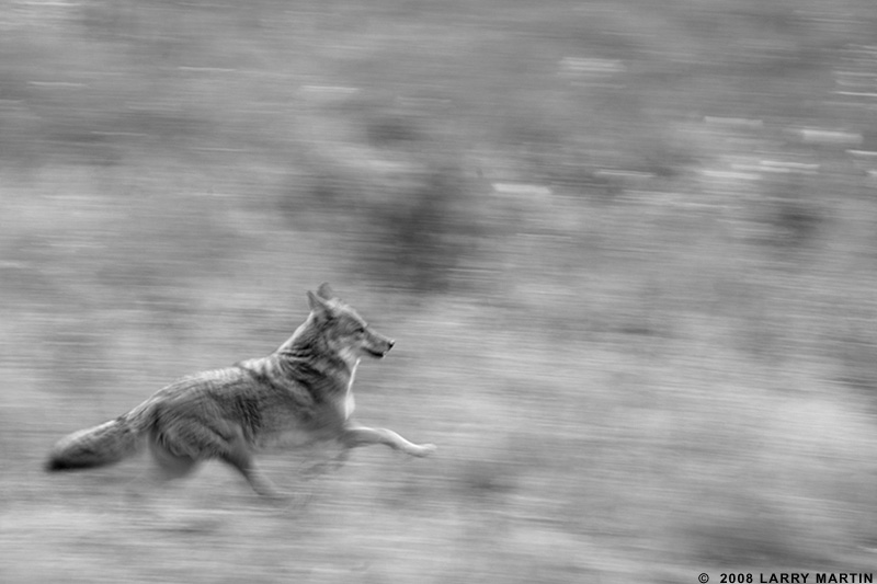 http://www.ellemmphotography.com/Images/Travel/Yosemite/Coyote_3928_A_BW_web.jpg